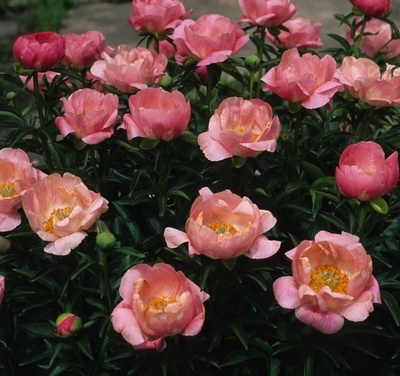 56 best peony garden images on pinterest beautiful flowers klehms song sparrow farm and nursery peony cameo mightylinksfo Images