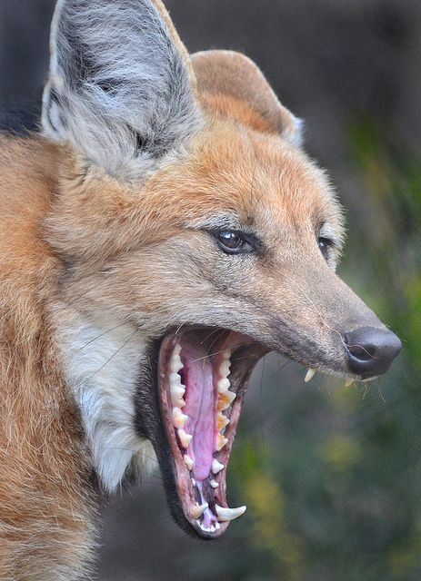 What big teeth you have by Ion Moe   Flickr - Photo Sharing!  This Maned Wolf could blow your house down. Lucky for you she can't leave the San Diego Zoo