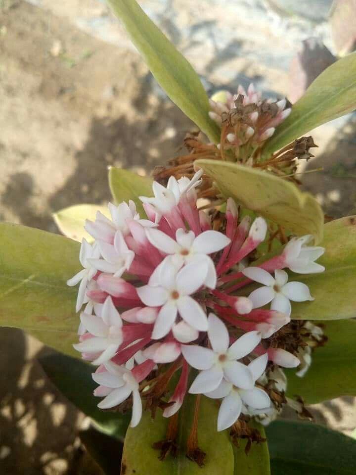 كوكانثيرة له رائحة قوية مستديم الخضار لونة في الشمس احمر وفي الظل اخصر Plants Garden