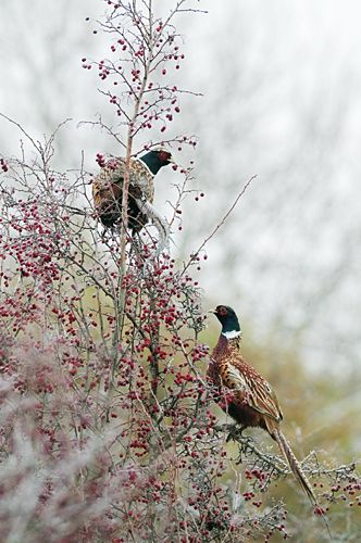 We used to see pheasants in the trees when I was a kid on the farm. Now we never see one at all.