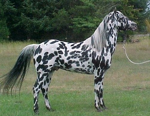 "Appaloosa is not a specific color, but is instead a horse breed. Some Appaloosas (rare) don't have any spots at all, but most have numerous spots all over their bodies.  This Appaloosa is a striking example of the ""leopard"" pattern - large dark spots all over, on a light base coat."