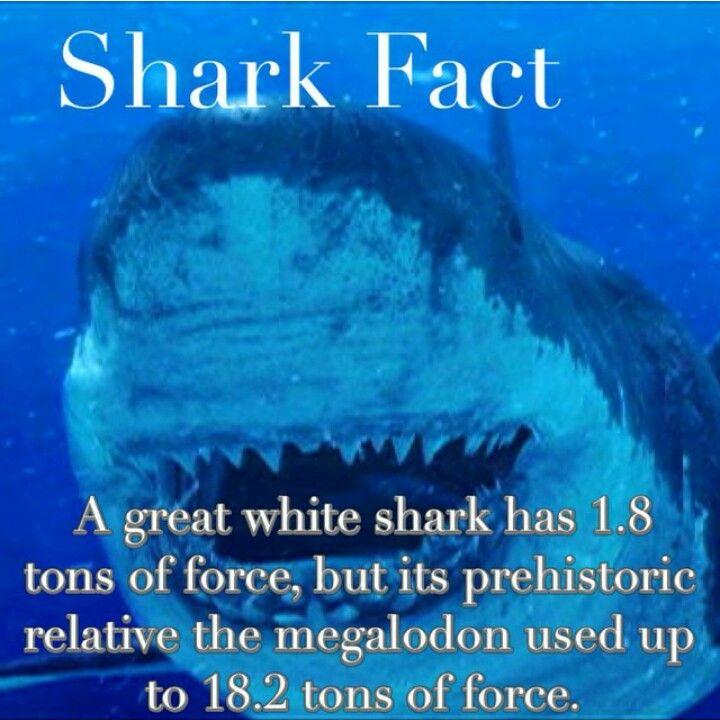 A Great White Shark. #sharkfact