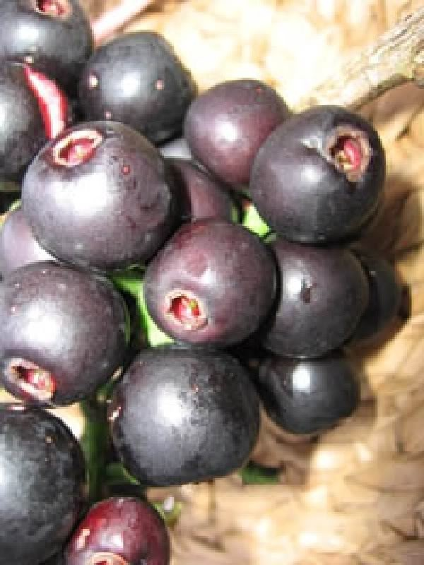 Gowok (Syzygium Polycephalum) is also known as gohok/gowok to Betawi natives, kupa to Sundanese or dompyong to Javanese.    Gowok looks like a grape and tastes bittersweet. It is dark purple on the outside and white on the inside.