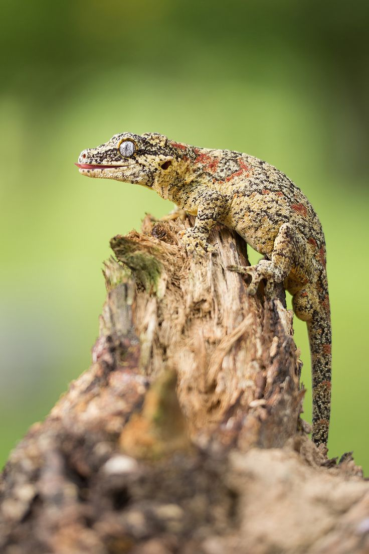 Gargoyle Gecko by Milan Zygmunt