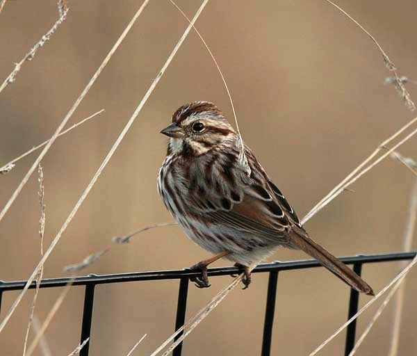 12 best Lit Song of the Sparrow images on Pinterest