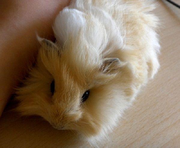 baby guinea pigs fluffy | Zoe Fans Blog