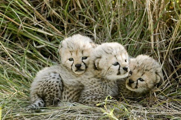 Pile of baby cheetahs | Christine et MichelDenis Huotphotographes animaliers - - Guépard bébés - 13513                                                                                                                                                      Plus