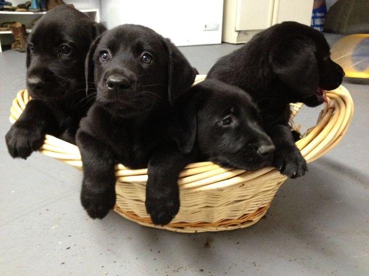 black lab puppies :)