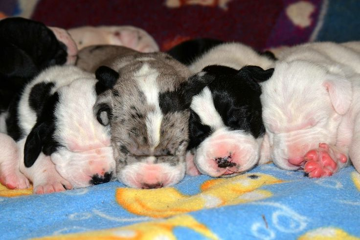 Great Dane puppy noses on our Service Dog Project Puppy Cam.