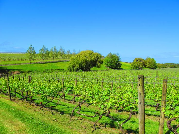 Vineyards of Kumeu, West #Auckland http://www.mydestination.com/auckland/6180177/kumeu