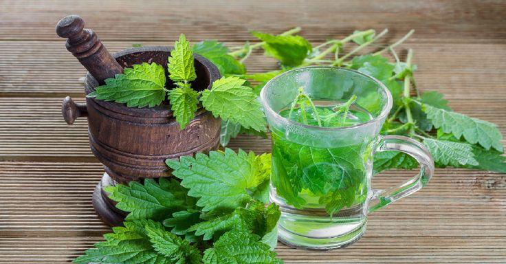 Léčivá Kopřiva – Jak ji sbírat a používat + 7 receptů