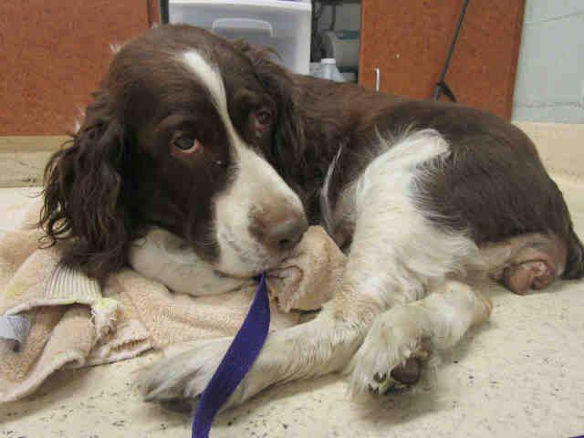 English Springer Spaniel Dog For Adoption In Rancho Cucamonga Ca Adn 772509 On Puppyfinder Com Gender Fema English Springer Spaniel Spaniel Dog Dog Adoption