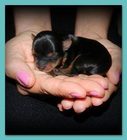 Newborn Yorkie puppy