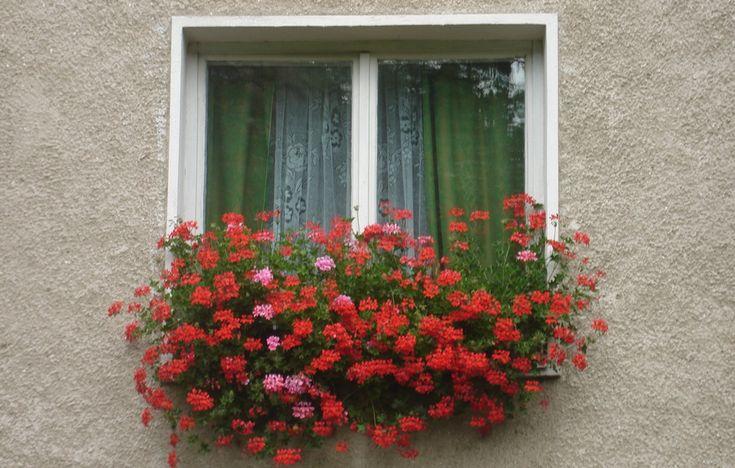 A muskátli rengeteg virágot hoz tőle és sokkal ellenállóbb lesz.