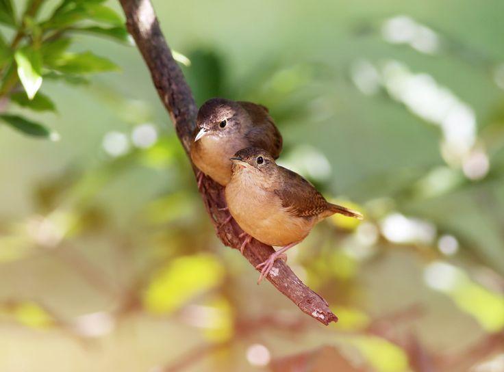 Précieuse Dame Nature • Troglodyte de Caroline _ Carolina wren...