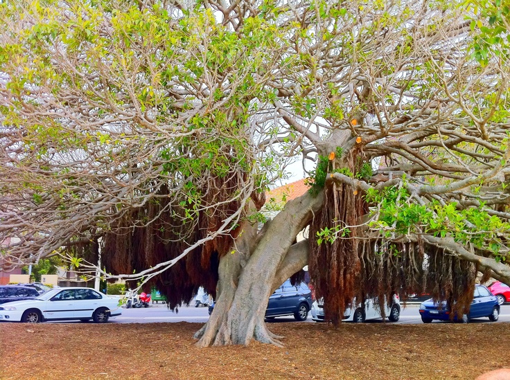 One of Balmoral's giant Morton Bay Fig trees