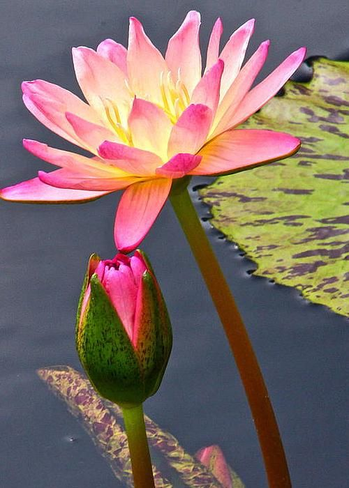 Water lily by byron varvarigos blooming lotus water for Lotus plant for sale