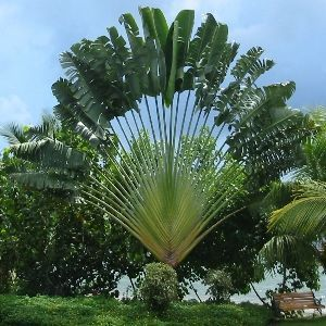 Traveler Palm -- ravenala madagascariensis