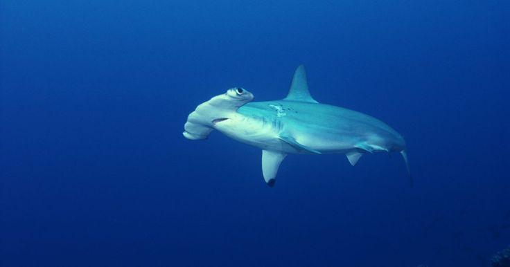 ¿Cómo es el comportamiento de un tiburón martillo?. Los tiburones martillo son uno de los tiburones más reconocibles del mundo, en gran parte debido a su cabeza en forma de martillo. Los ojos de estos tiburones están en lados opuestos de la cabeza, lo que les permita tener una visión más amplia que otros tiburones. Existen nueve especies de tiburón martillo y estos tiburones, que pertenecen al ...