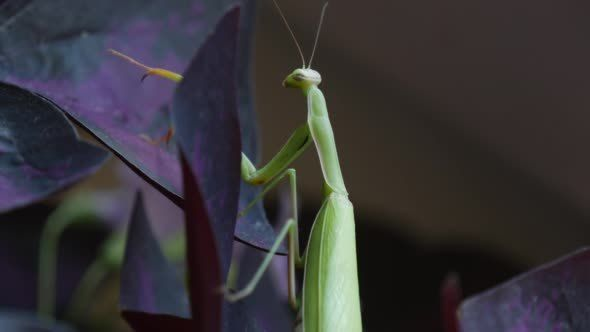 Mantis is Moving His Upper Legs Climbing