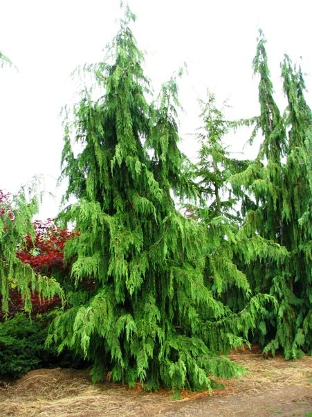 220 best images about specimen trees on pinterest trees for Specimen evergreen trees small