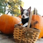 Tanq the Boston Terrier at the Pumpkin Patch