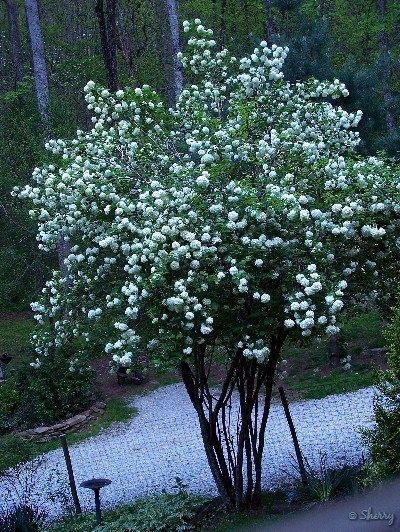 this ladies snowball viburnum bush is 15 feet tall. She has pruned the bottom 5 foot off the bush to turn it into a standard.