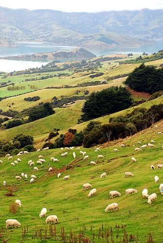 Sheep-laden hillsides. I can tell you that if you ever go on a road trip around N.Z you would never miss sheep or cows! The farms here really interest me!