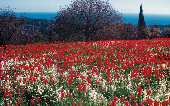 tulips spring in Chios island Greece