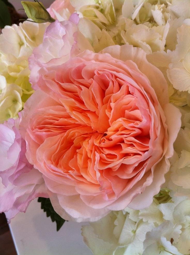 213 best rose david austin rose images on pinterest. Black Bedroom Furniture Sets. Home Design Ideas