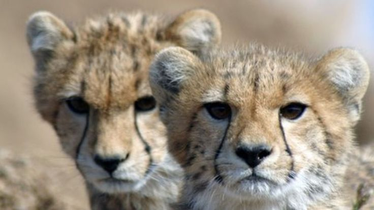Cheetahs heading towards extinction as population crashes The sleek, speedy cheetah is rapidly heading towards extinction according to a new study into declining numbers. The report estimates that there are just 7,100 of the world's fastest mammals now left in the wild.