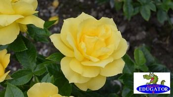 This is a high quality photo of a yellow rose flower in bloom. My husband and I take all our own photos. This flower we grew in our garden, The image is 300 dpi, fit to 4 x 6 inches. This yellow rose dollar stock photo is available in my flowers bundle set 1.