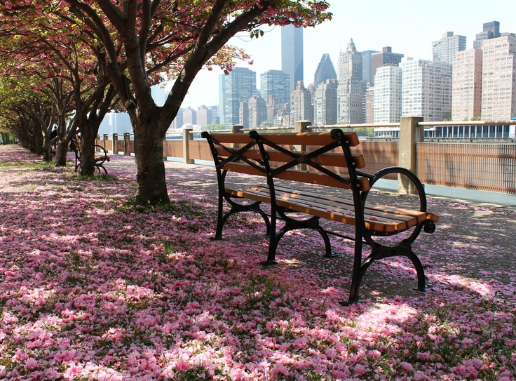 Cherry Blossoms / Roosevelt Island, New York