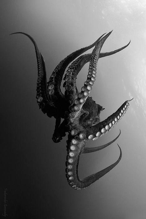 Kraken-Great Octopus photographed by Fedorenko Gennady.