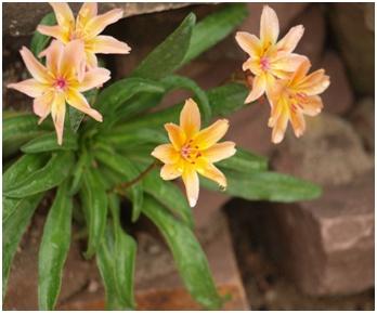 Lewisia - een zeer sterke, kleurrijk plantje voor in de tuin.  Groeit oorspronkelijk (o.a.) hoog in de Rocky Mountains in Noord-Amerika. Er komen ook varieteiten voor in andere delen van Amerika, zoals  Californië, Oregon, Nevada en Washington.