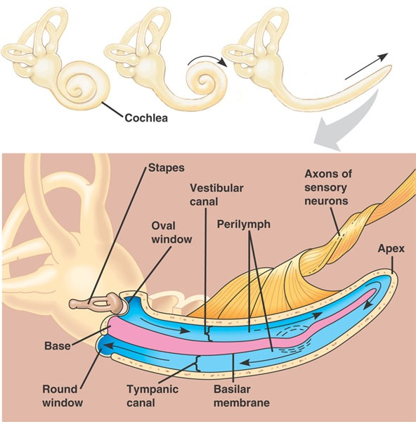 Structure of Cochlea in Human Ear