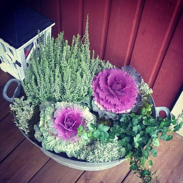 Syys istutuksia  kyl syksy on ihanaa aikaa   #syksy #syysasetelma #syysistutuksia #september #homedecor #flowers #calluna #koristekaali #interior #homesweethome #muratti