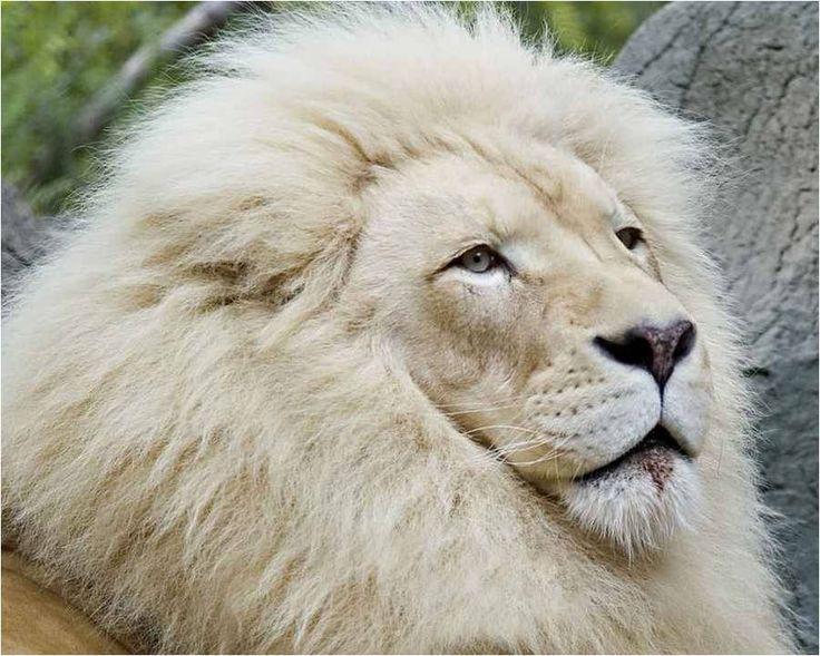 Un lion blanc