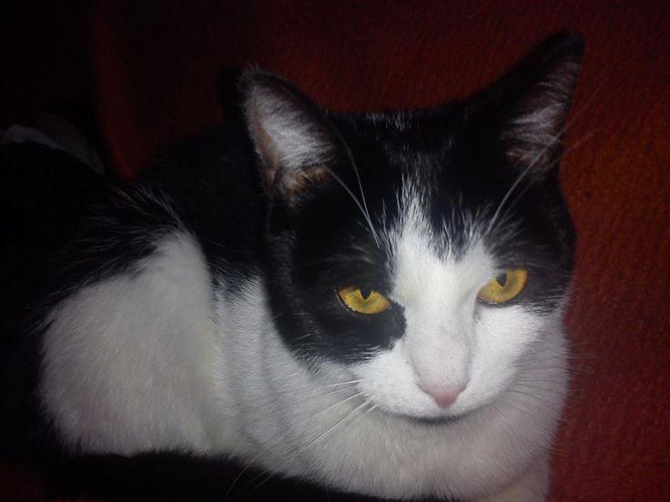perdu chat femelle noir et blanc - Liège