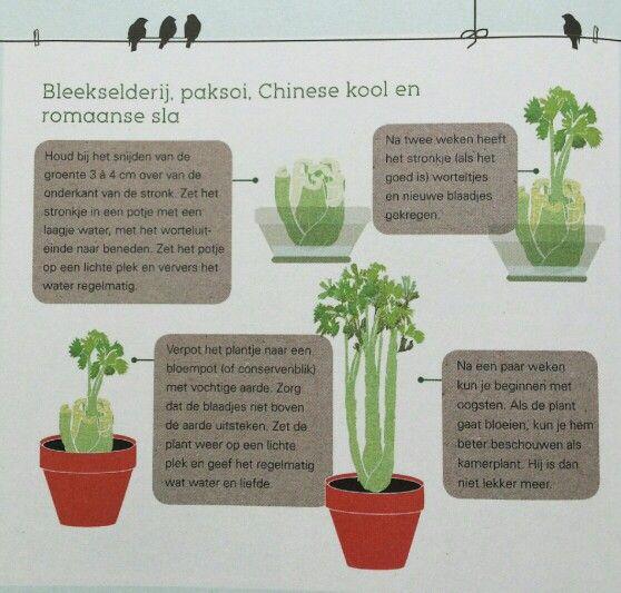 Bleekselderij, paksoi, Chinese kool en Romaanse sla kweken.