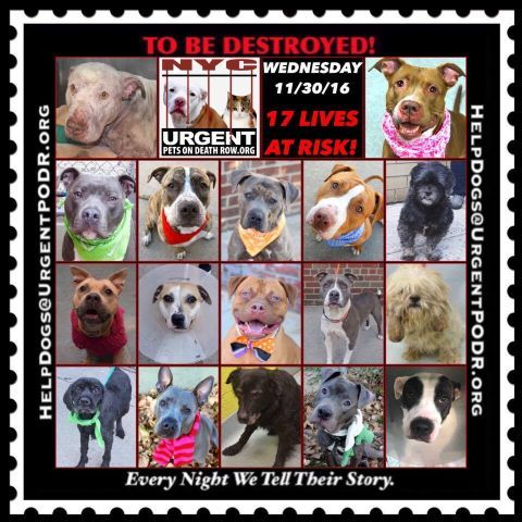 "17 BEAUTIFUL LIVES TO BE DESTROYED 11/30/16  @ NYC ACC **SO MANY GREAT DOGS HAVE BEEN KILLED: Puppies, Throw Away Mamas, Good Family Dogs. This is a HIGH KILL ""CARE CENTER"" w/ POOR LIVING CONDITIONS.  Please Share:    To rescue a Death Row Dog, Please read this: http://information.urgentpodr.org/adoption-info-and-list-of-rescues/"