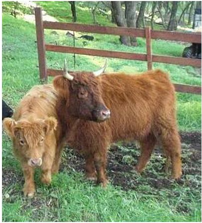 Ten Miniature Cattle Breeds For Your Small Farm Big