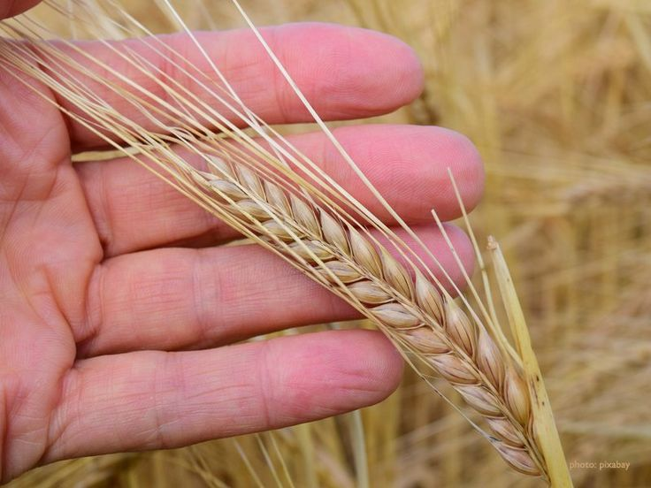 Like other grains, barley in the world market is as different forms, from hulled to pearl, scotch and grit due to different purposes of processing.