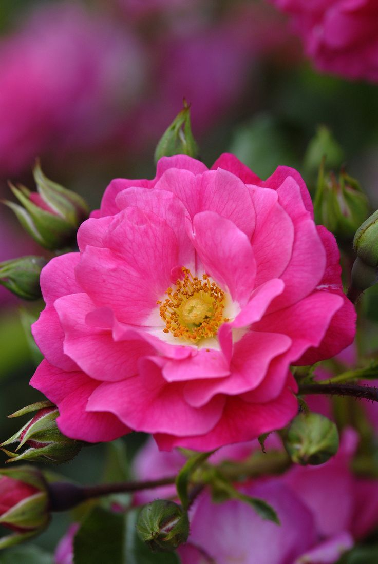 Best 25 noack rosen ideas only on pinterest jacaranda bume flower carpet pink shrub rose werner noack 1988 tesselaarusa dhlflorist Image collections