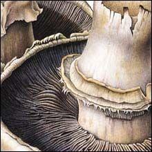 Brown mushrooms (detail) by Susannah Blaxill. Watercolour