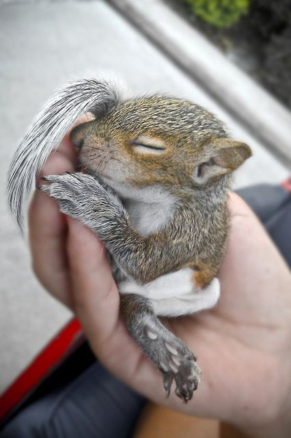 Snoozing Baby Squirrel