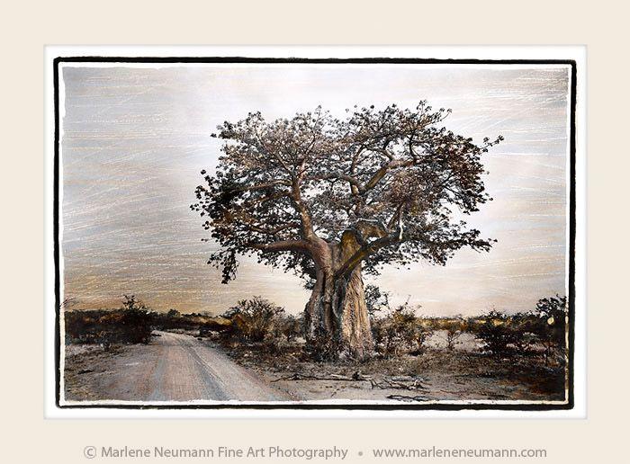 """ Roadside Baobab"" - Timeless black and white Fine Art Photography by Master Fine Art Photographer Marlene Neumann. Decor. Gifts. Art for your home and office. www.marleneneumann.com"