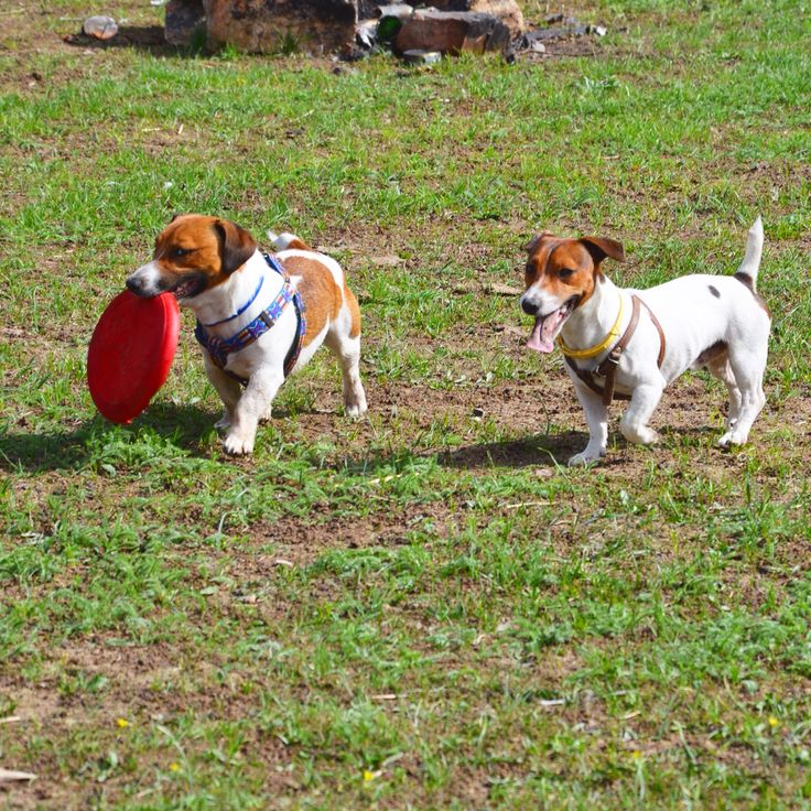 Moses dog Jack rassel terrier Summer Brothers