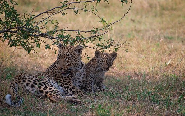"""The highlight of our morning drive was undoubtedly seeing this mother and her two cubs (only one photographed) as they played together and later went to feed on a baboon that she'd killed earlier. "" #Botswana #safari"