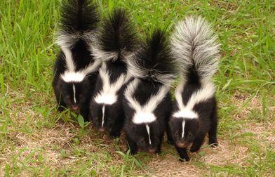 Homemade skunk repellent! gotta try this now since I found this little critter in my backyard a couple times!